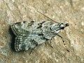 Scoparia pyralella - Meadow grey (39036616530).jpg