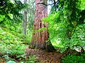 Scotland - Cawdor Castle - Cawdor Burn - Giant Sequoias - panoramio (1).jpg