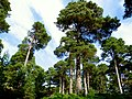 Scots pines in the Caledonian forest in Glen Tanar - geograph.org.uk - 236207.jpg