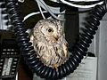 Screech Owl named Fod found on USS Harry S. Truman (CVN 75).jpg