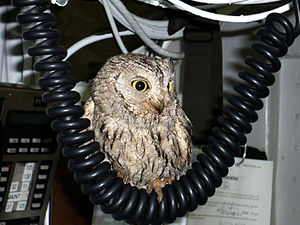 Foreign object damage - Potential foreign object debris (in this case, a screech owl) found in the wheel well of a F/A-18 Hornet on a US aircraft carrier