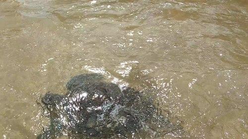 File:Sea turtle noronha.ogv