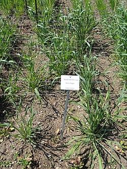 Secale vavilovii - Botanischer Garten München-Nymphenburg - DSC07814.JPG