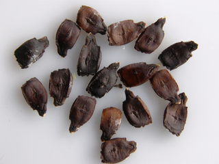 Seeds of Cyclanthera pedata (Cucurbitaceae)
