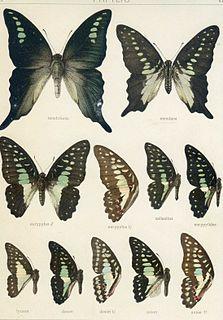 <i>Graphium mendana</i> species of insect