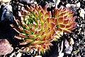 Sempervivum muralis 1.jpg