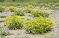 Senecio vernalis - Eastern groundsel - Kanaryaotu 03.jpg