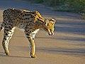 Serval (Leptailurus serval) (14034881104).jpg