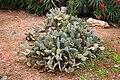 Ses Salines - Botanicactus - Opuntia microdasys 05 ies.jpg