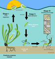 Sexual recruitment stages of Posidonia oceanica.png