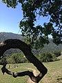 Shadow of the oak - panoramio.jpg
