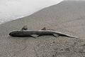 Shark (2271865596).jpg