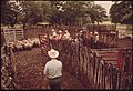 Sheep Being Herded Toward Loading Pens on a Ranch in the Leakey, Texas, Area near San Antonio 05-1973 (3704383182).jpg