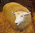 Sheep DSC04002.jpg
