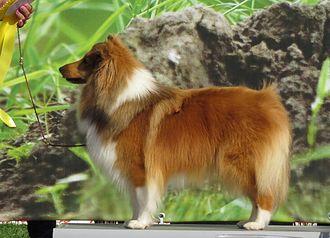 Shetland Sheepdog - A sable Shetland Sheepdog