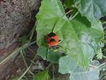 Shield bug (Pentatomidae genus) at Bhadrachalam 03.JPG