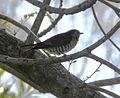 Shining Bronze Cuckoo (Chrysococcyx lucidus) 04.JPG