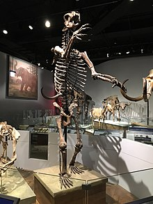 Short Faced Bear FMNH.jpg