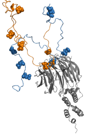 Fuzzy complex - NMR structure of the cyclin-dependent kinase inhibitor Sic1 with the ubiquitin ligase Cdc4 (grey). Out of the nine phosphorylation sites of Sic 1 (spheres) the contacts with T45 and S76 are shown (orange and blue).