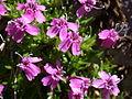 Silene acaulis flowers.jpg