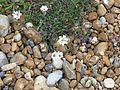 Silene maritima - Flickr - peganum (1).jpg