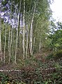 Silver Birch trees in New Copse - geograph.org.uk - 593747.jpg