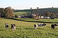 Silverton, cattle near Moorland - geograph.org.uk - 80498.jpg