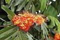 Sita Ashok or sorrow-less tree.(Saraca asoca) അശോകം. (32739990826).jpg