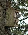 Sitta europaea -England -nest box-8-4c.jpg