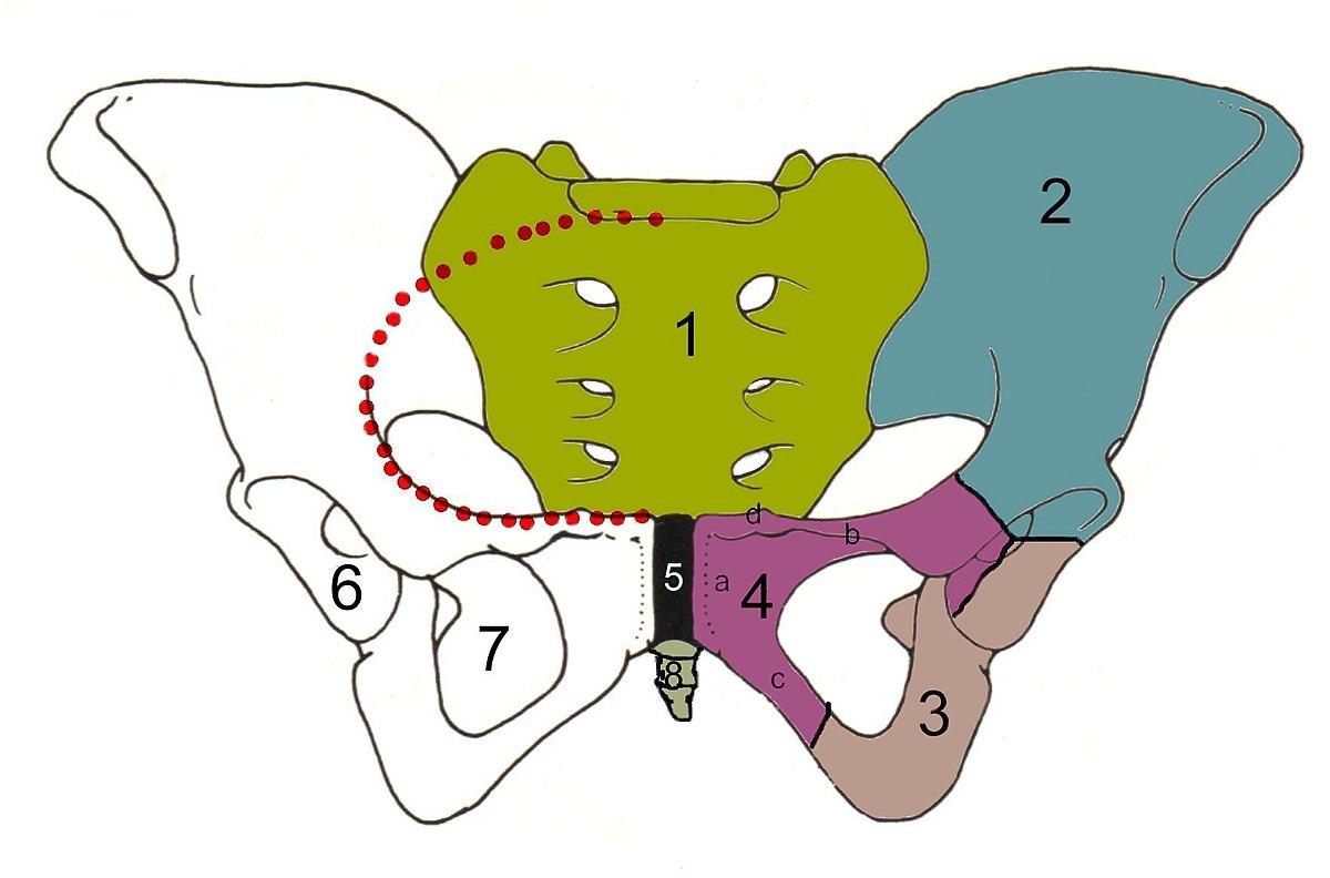 csípőízületek férfiaknál