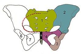 Skelet van het bekken, vooraanzicht 1=heiligbeen os sacrum, 2=darmbeen os ilium, 3=zitbeen os ischii, 4=schaambeen os pubis (4a=corpus, 4b=ramus superior (richting hoofd), 4c=ramus inferior (aan staartzijde), 4d=tuberculum pubicum), 5=symfyse (schaambeensvoeg), 6=heupkom, 7=foramen obturatum, 8=staartbeen, rode stippellijn= linea terminalis