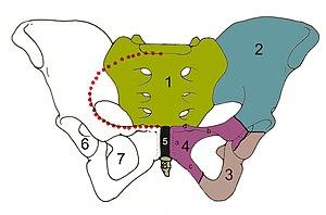 (1) sacrum, (2) ilium, (3) ischium, (4) pubis,...