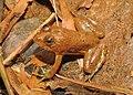 Skittering Frog Euphlyctis cyanophlyctis by Dr. Raju Kasambe DSCN0020 (8).jpg
