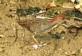 Slaty-breasted Rail Gallirallus striatus by Dr. Raju Kasambe DSCN5815 (1).jpg