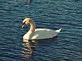 Sleeping Swan (6704087261).jpg