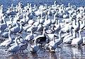 Snow Geese on Back Bay (5405396500).jpg