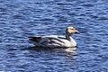 Snow Goose Visitor (8589221789).jpg