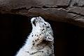 Snow Leopard (6777483752).jpg