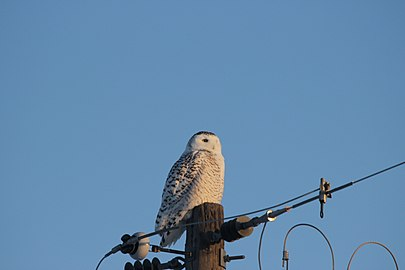 Snowy Owl on the Lookout (16871321721).jpg