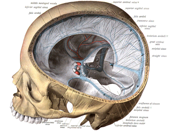 Medical illustration - Anatomical illustration of a dissection of the skull showing meninges. A 1909 illustration from Sobotta's Atlas and Text-book of Human Anatomy.