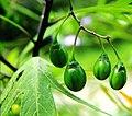 Solanum laciniatum Prague 2017 3.jpg
