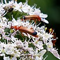Soldier beetle Cantharis livida at Woods Mill, Sussex Wildlife Trust, England 1.jpg