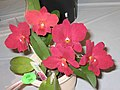 Sophrolaeliocattleya Rollbright 'M' 香港沙田洋蘭展 Shatin Orchid Show, Hong Kong- (9207602898).jpg