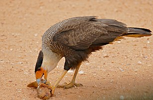Southern Crested Caracara (Caracara plancus) eating some fish, probably a Yarrow (Hoplerythrinus unitaeniatus) ... (28269693483).jpg