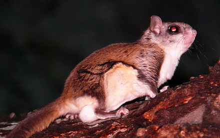Southern flying squirrel. - Appalachian Mountains