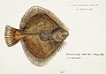 Southern Pacific fishes illustrations by F.E. Clarke 70.jpg