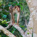 Southern Pig-tailed Macaque (15026621155).jpg