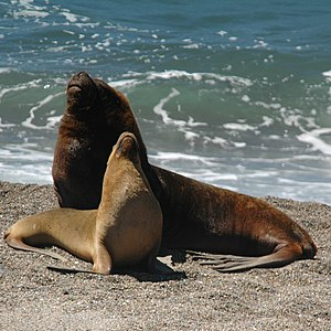 South American sea lion - Male and female