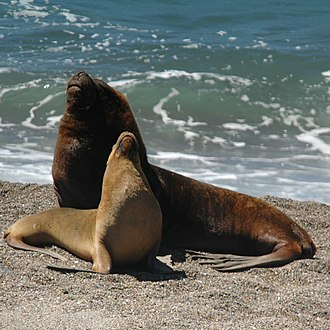 Pinniped - Male and female South American sea lions, showing sexual dimorphism