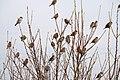 Sparrows スズメ (140106723).jpeg